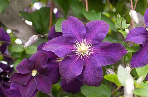 flowering vines names flowering vines names flowering