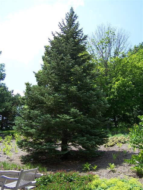 fir tree white fir tree facts white fir family name