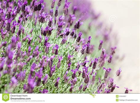 blooming lavender royalty free stock photography image 31554267