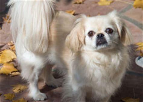 laid back breeds laid back breeds pet paw