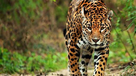 imagenes del jaguar animal el jaguar mexicano el felino prehisp 225 nico al borde de la