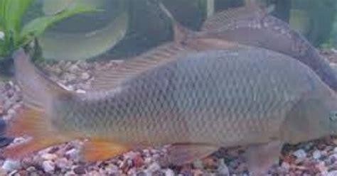 membuat umpan ikan mas galatama tips cara membuat umpan mancing ikan mas untuk lomba