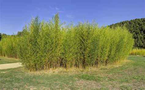 Bambus Winterhart Schnellwachsend 820 bambus winterhart schnellwachsend winterharte bambushecke