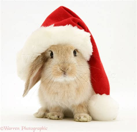 Images Of Christmas Rabbits | christmas bunny wallpaper wallpapersafari