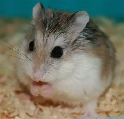 hamster colors why are gray hamsters so quora