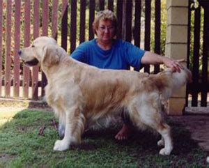 golden retrievers brisbane purebred golden retriever sale brisbane photo