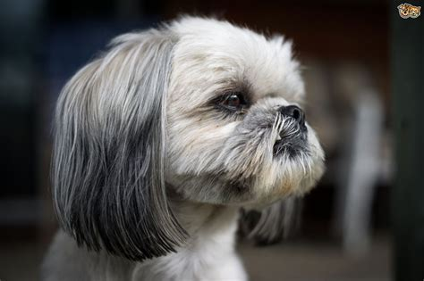 caring for shih tzu puppies shih tzu breed information buying advice photos and facts pets4homes