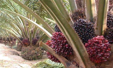 Minyak Kelapa Sawit Di Indonesia indonesia masuki kondisi cuaca yang dukung hasil produksi