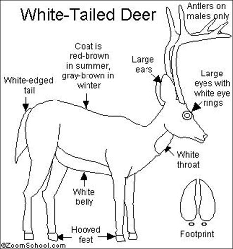 whitetail deer diagram white tailed deer printout enchantedlearning