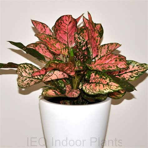 best indoor plants brisbane zanzibar gem low light plants