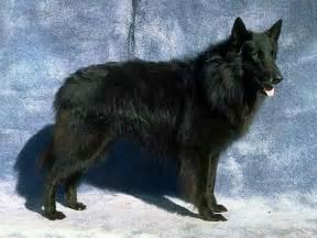 belgian shepherd wolf hybrid belgian shepherd mix images amp pictures becuo