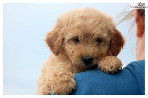goldendoodle puppy prices goldendoodle puppy for sale near lancaster pennsylvania