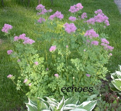plantfiles pictures french meadow rue columbine meadow