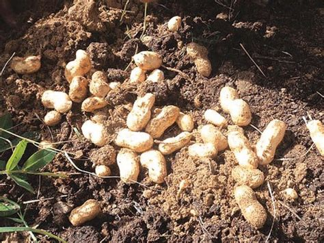 how to grow peanuts an easy guide for gardening beginners i grow peanuts do you the express tribune