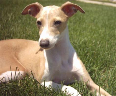 italian greyhound puppy for sale italian greyhound puppies breeders greyhounds