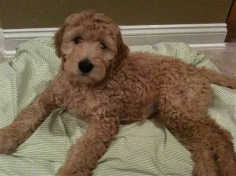 goldendoodle puppy week by week meet molly turley jonathan turley