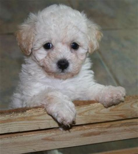 maltipoo puppies for sale in oklahoma malti poo puppies for sale birmingham uk free classifieds muamat