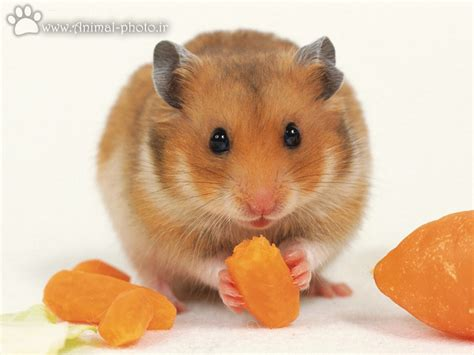Makanan Hamster Golden Hamster index of image mouse hamster large picture