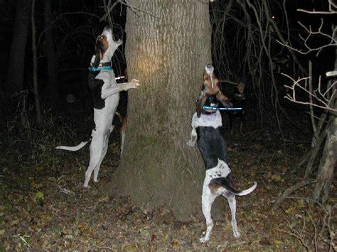 walker coonhound puppies for sale treeing walker coonhound