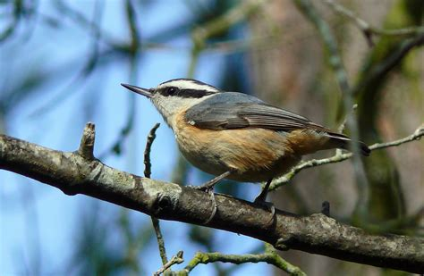 red breasted nuthatch cubs