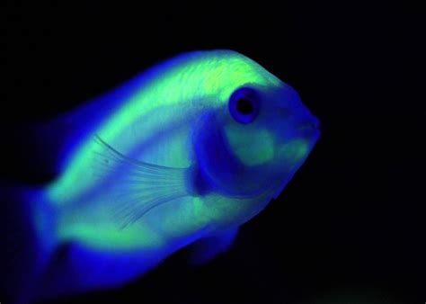 Glowing Animals glowing in the pictures of genetically