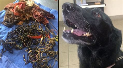 intestinal blockage surgery cost 9 things you won t believe dogs ate healthy paws pet insurance