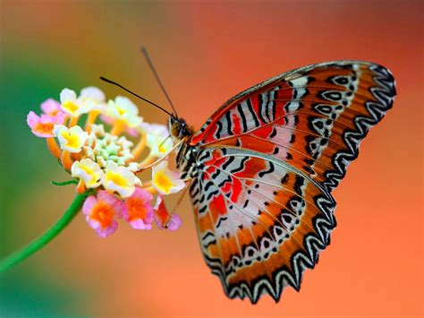 Lq 09 Butterfly 2w butterfly desktop wallpapers photos mages gallery
