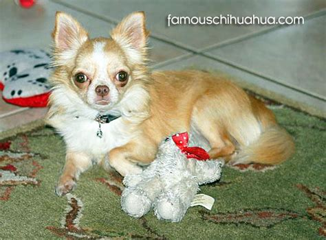 how to a chihuahua to be a therapy chihuahua a site featuring the world s cutest chihuahuas page 2