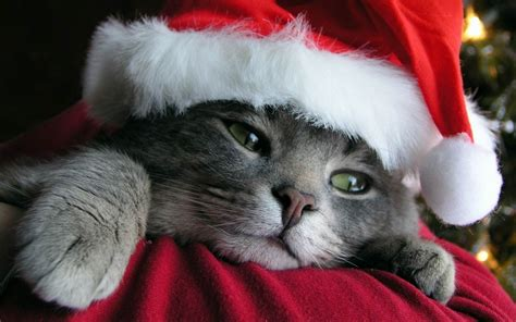 cats christmas wallpaper allwallpaperin  pc en
