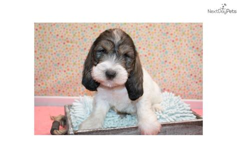 petit basset griffon vendeen puppies for sale petit basset griffon vendeen puppy for sale near sioux city iowa f16dc823 4151