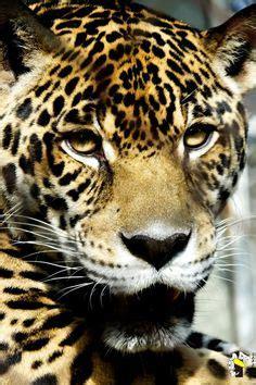 Marcelo Burlon Gato Hoodie jaguar rosettes pantanal