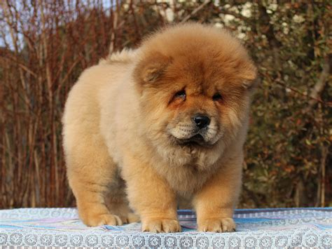 cost of chow chow puppies jet li chow chow puppy for sale puppy