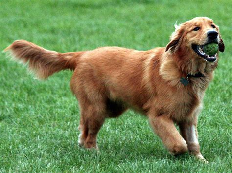 10 year golden retriever not golden retriever elityavru
