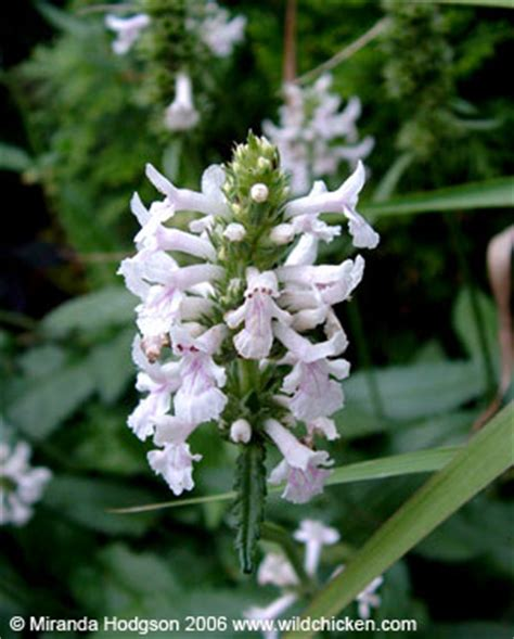 stachys officinalis alba