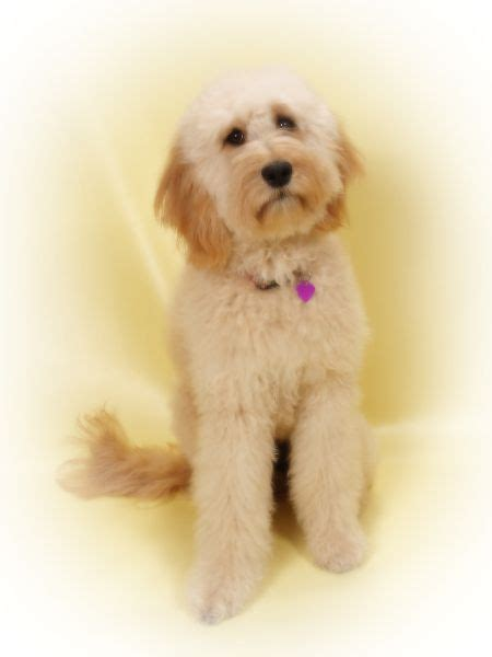 goldendoodle puppy breathing fast 1000 images about goldendoodles dogs i on