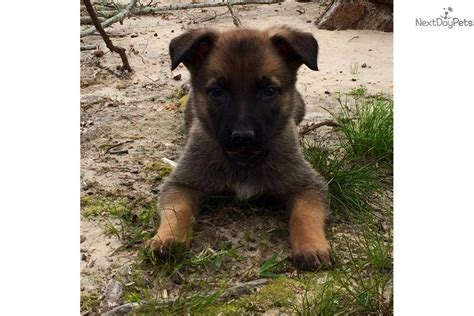 belgian malinois puppies for sale florida belgian malinois puppies for sale florida images