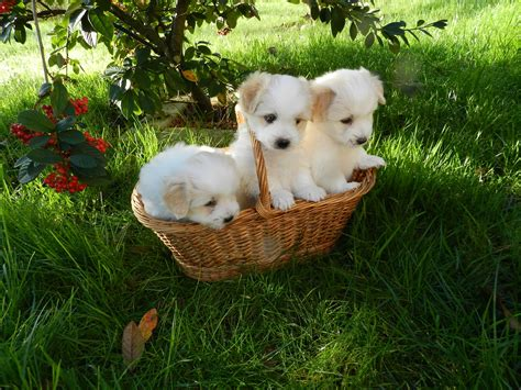free puppies in delaware puppies coton de tulear free stock photo domain pictures