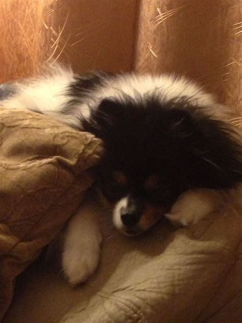 panda looking pomeranian for sale 22 best images about poms on puppy mix teacup pomeranian puppy and i want