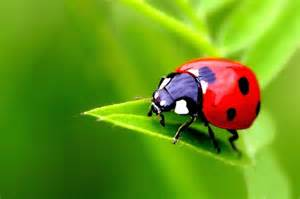 what color are ladybugs ladybug color