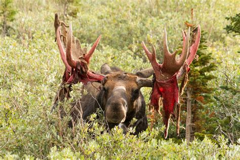 Do Moose Shed Antlers by Til That The Soviet Union Attempted To Domesticate Moose