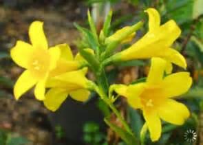carolina flower south carolina state flower carolina jasmine state