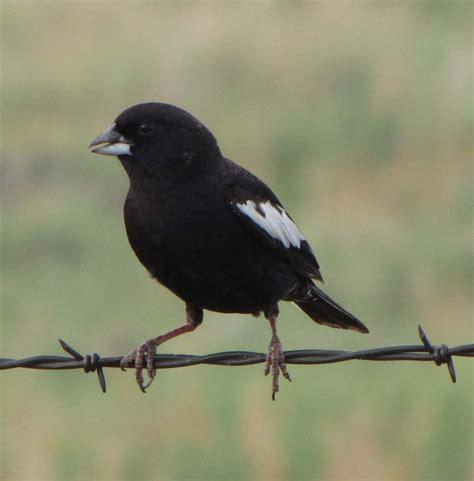 the colorado state bird the quot lark bunting quot colorado