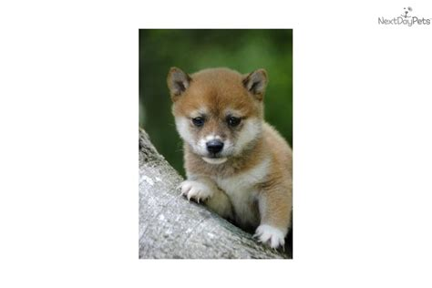 golden retriever puppies for sale in winston salem nc shiba inu for sale shiba puppies for sale breeds picture