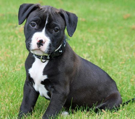american pitbull puppy american pit bull terrier puppies for sale american pitbull puppies m5x eu