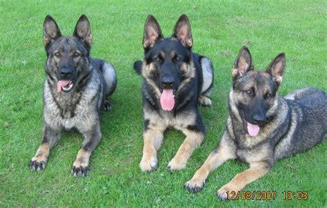 Musings Of A Biologist And Dog Lover Mismark Case Study  Ee  German Ee    Ee  Shepherd Ee   Dog