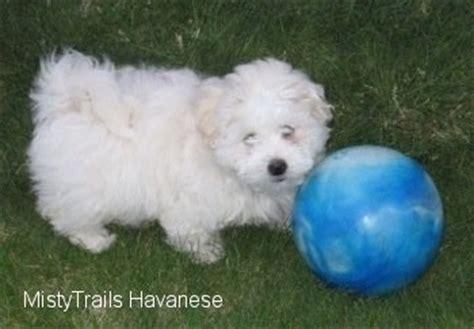 mistytrails havanese havanese breed pictures 14