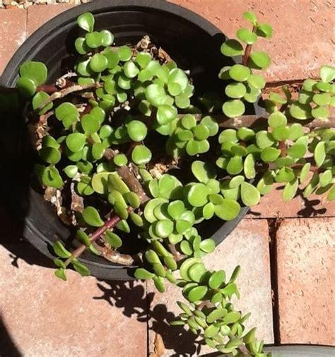 succulent elephant ear succulents cacti pinterest