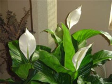 are peace lilies poisonous to dogs best indoor plants