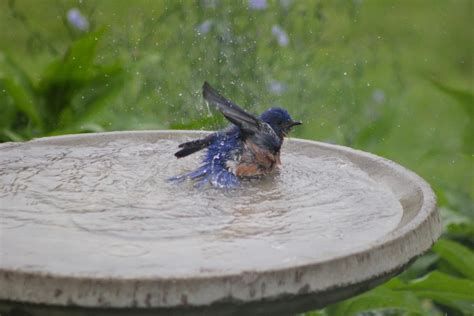 eastern bluebird in bath photo by holly