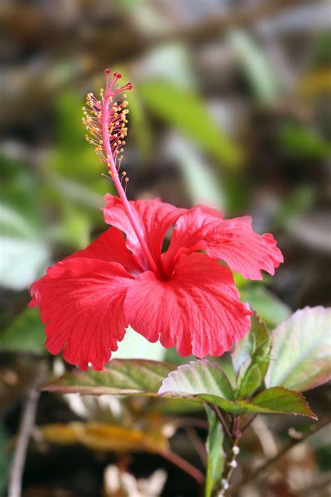 hibiscus fiore hibiscus